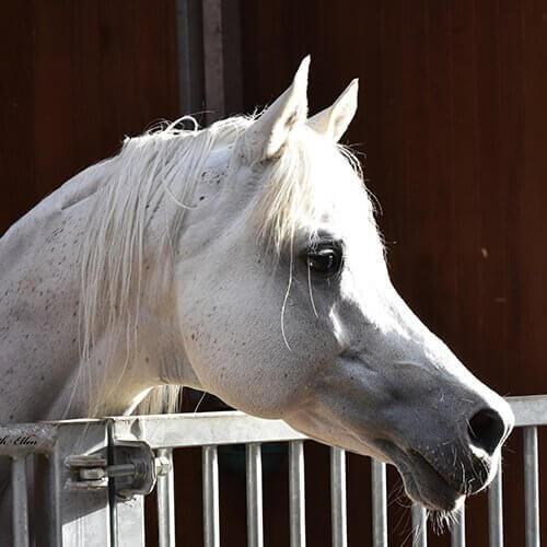 square-we.love.arabian.horses-16