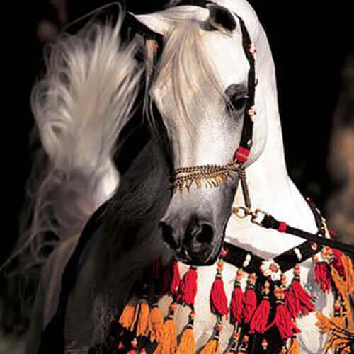 square-we.love.arabian.horses-27