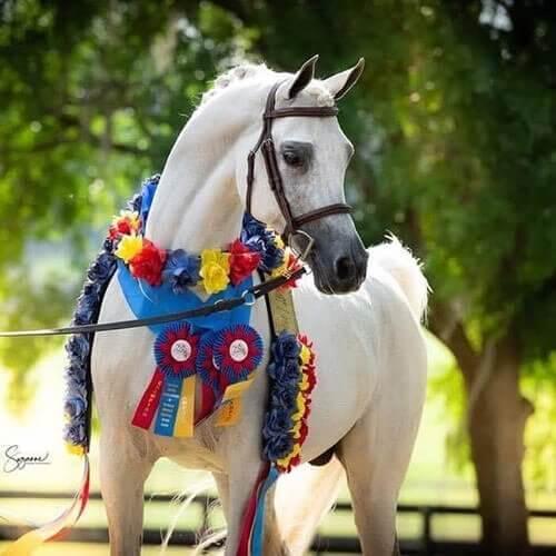 we.love.arabian.horses-blog-00096