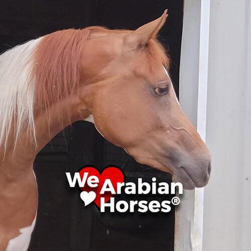 we-love-arabian-horses-people-26