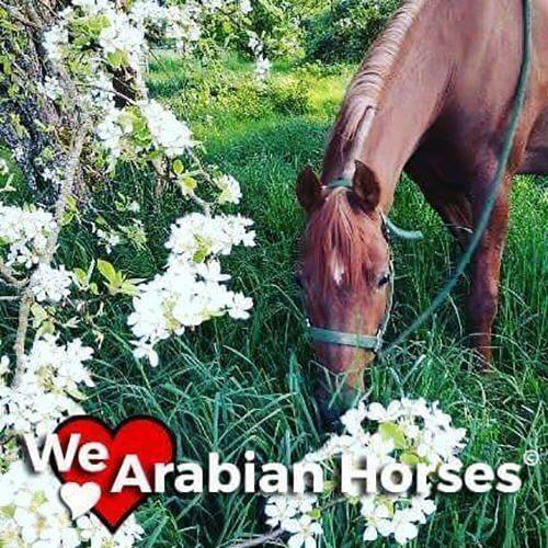 we-love-arabian-horses-people-33